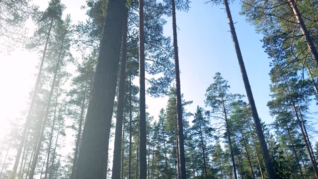 tall coniferous trees in the forest against the backdrop of a clear blue sky and sun