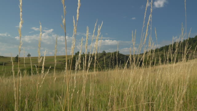 tall, dry grass moved by gentle breeze in late summer at foothills - pianura video stock e b–roll