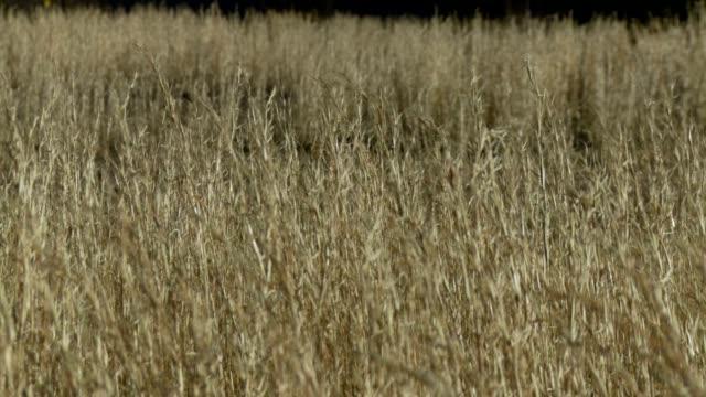 tall grass - corn fields of wheat - kahverengi stok videoları ve detay görüntü çekimi