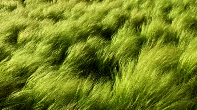 Tall grass moving in the wind video