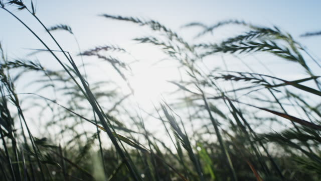 Tall grasses blowing in the morning wind. Shot in slow motion on the Red Dragon at 6K. video