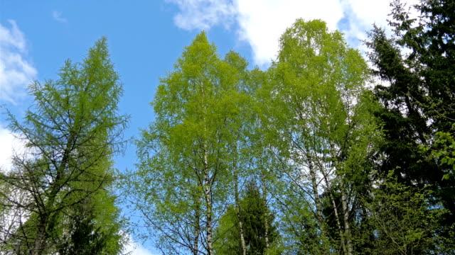 höga gröna träd med den blå himlen - fur bildbanksvideor och videomaterial från bakom kulisserna