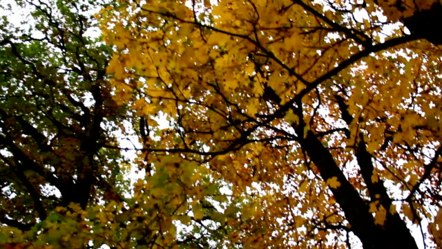 Tall maple trees and its branches autumn park video