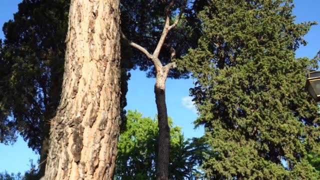 Tall Mediterranean cluster pines