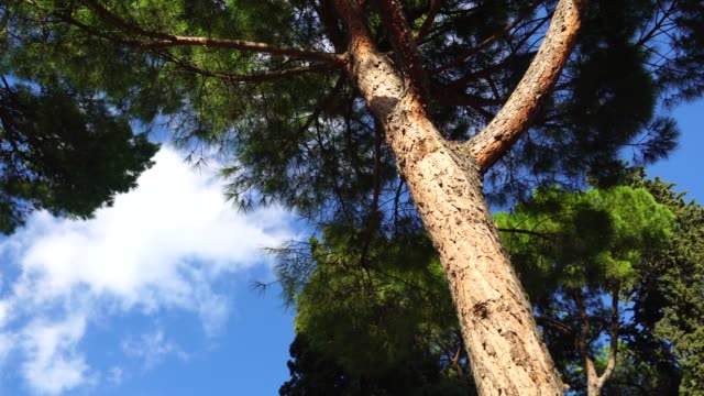 Tall Mediterranean cluster pines