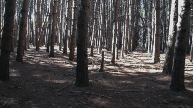 Tall pine forest video