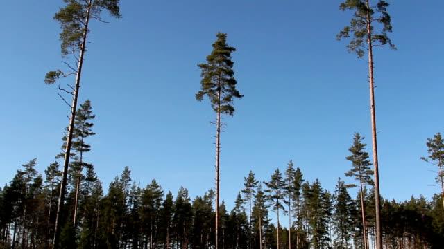 höga tallar pinus silvestris hela området - fur bildbanksvideor och videomaterial från bakom kulisserna