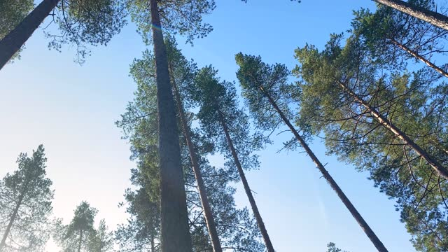 tall pine trees against the blue sky.