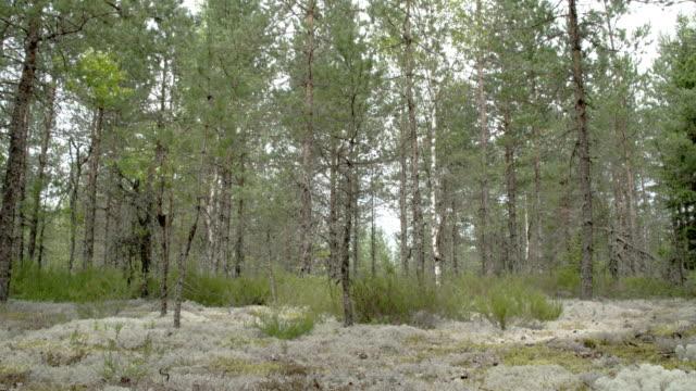 tall tall träd omgivande massor av cup lavar på marken fs700 odyssey 7q 4k - fur bildbanksvideor och videomaterial från bakom kulisserna