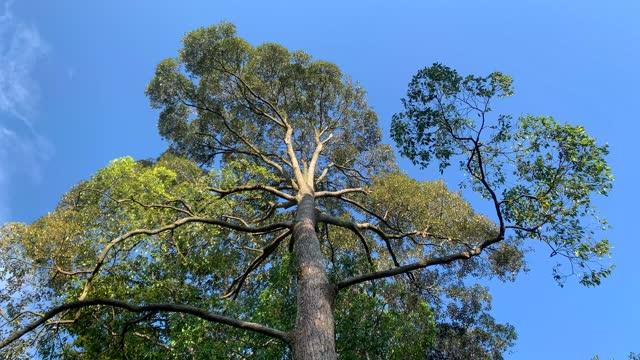 緑豊かな葉と青空の高い木。パンショット。 - マレーシア点の映像素材/bロール