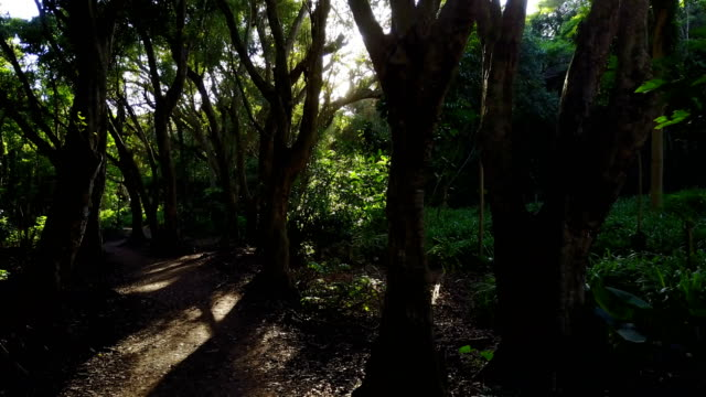 Tall Trees Growing on Side of Remote Pathway on Maui Island video
