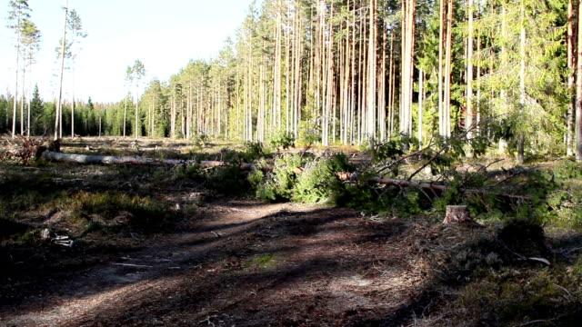 höga träd i skogen - fur bildbanksvideor och videomaterial från bakom kulisserna