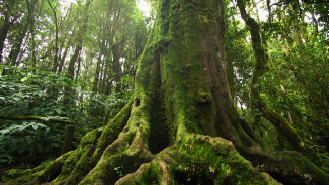 tall tropical green tree in the rainforest - muschio flora video stock e b–roll