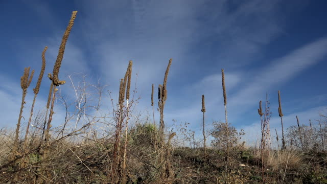Tall Western Weeds In Windy Sun. Mastered from 4k resolution! Professionally downgraded to exceptional 1080 HD resolution. 100% original content. video