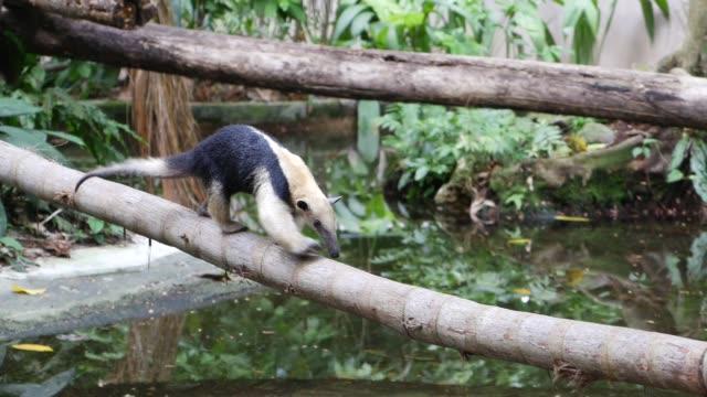 tamandua bandeira in der natur (anteater) - ameisenbär stock-videos und b-roll-filmmaterial