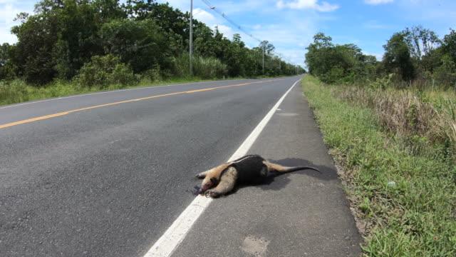 tamandua roadkill wildtier auf der straße getötet panama - ameisenbär stock-videos und b-roll-filmmaterial