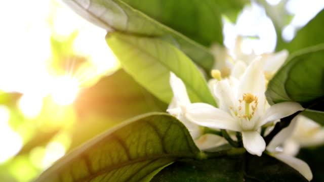 SERIES: Tangerine blossoms video