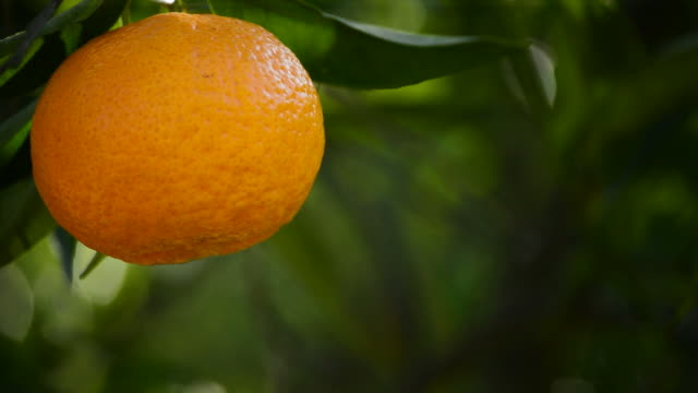 Tangerine hanging in branch video