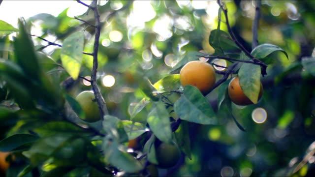 vidéos et rushes de arbre mandarine au soleil - pamplemousse