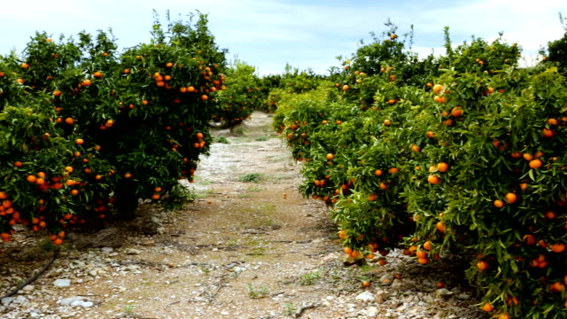 Tangerines trees with ripe fruits