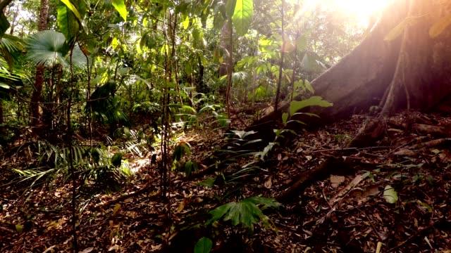 tangkoko yağmur ormanları, kuzey sulawesi, endonezya - makak maymunu stok videoları ve detay görüntü çekimi