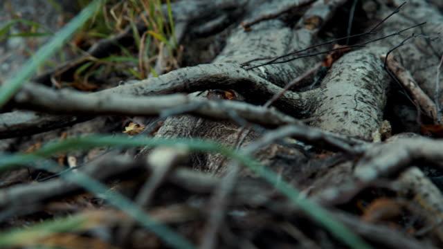 絡まったルーツの木々、かなり cobwebs - イヌバラ点の映像素材/bロール