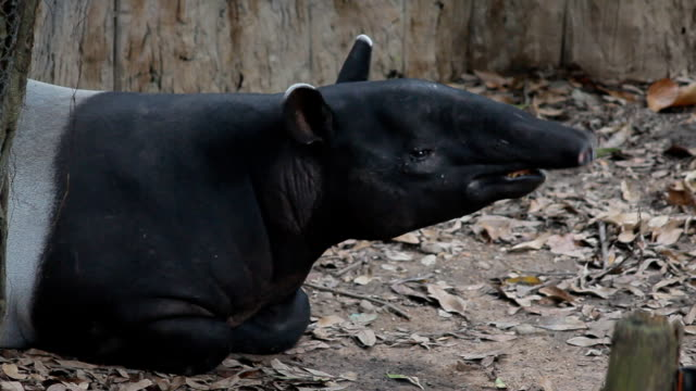 tapir sleep on ground in deep jungle wildness , wild animal in tropical forest, Thailand video