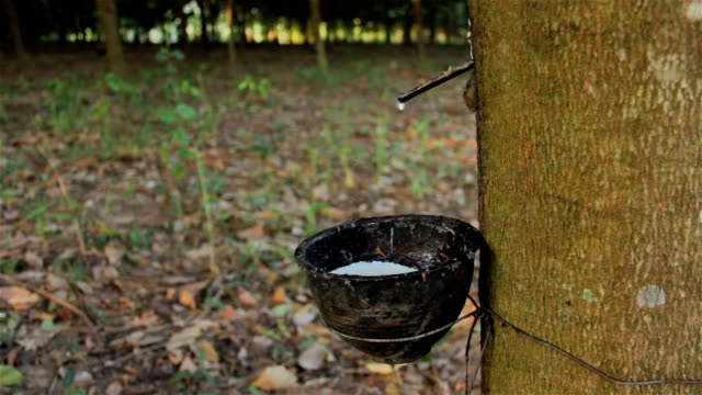 Tapping latex from a rubber tree in Thailand video