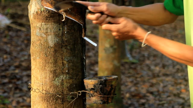 Tapping latex from a rubber tree video