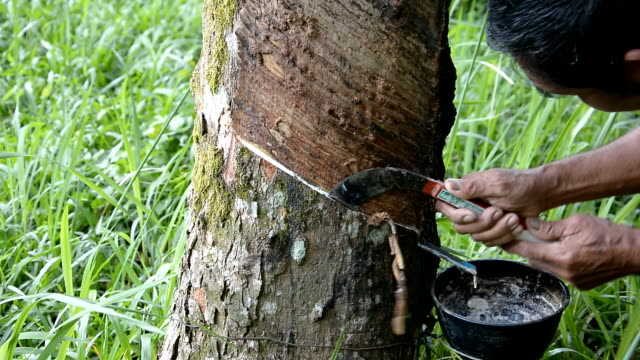 Tapping rubber latex from the rubber tree video