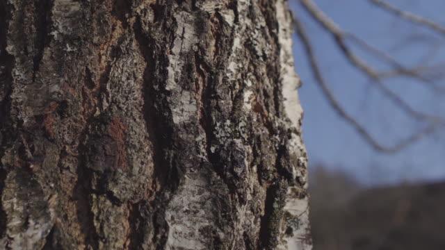 tapping tree for birch sap - tap water filmów i materiałów b-roll