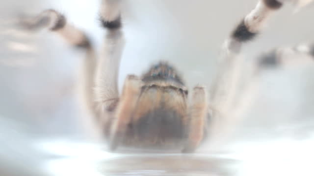 A tarantula spider close up video