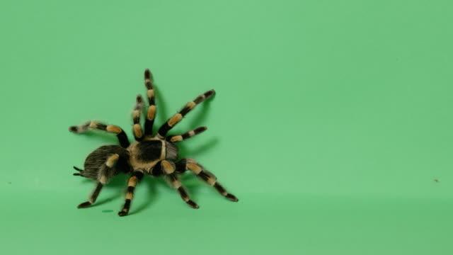 tarantula spindel på grön skärm - spindel arachnid bildbanksvideor och videomaterial från bakom kulisserna