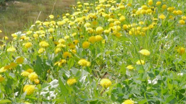 stockvideo's en b-roll-footage met taraxacum gele bloem veld natuurlijke achtergrond 4k 3840 x 2160 uhd footage - gele paardebloem bloem veel toppen in het gras 4 k 2160 p 30 fps ultrahd video - niet gecultiveerd