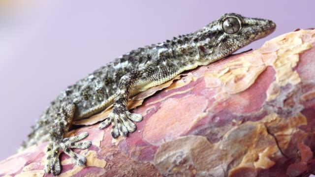 Tarentola mauritanica macro shot Tarentola mauritanica in close range, on a  tree trunk with purple background. gecko stock videos & royalty-free footage