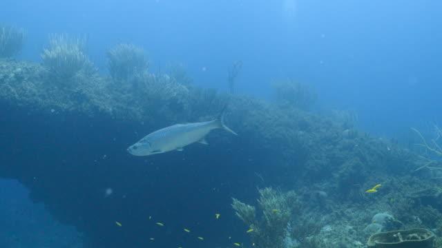 Tarpon around Tarponbridge in coral reef of Caribbean Sea around Curacao video