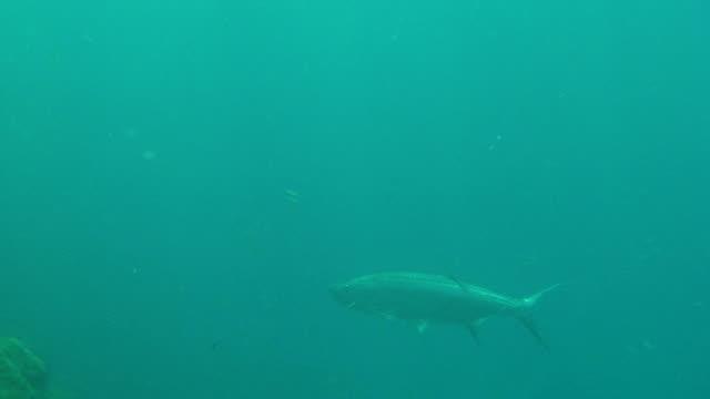 Tarpon Underwater Close Up video