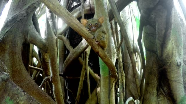 tarsius spectrum,tangkoko, north sulawesi indonesia - primate video stock e b–roll