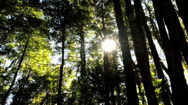 tasmanska bokskog - eucalyptus leaves bildbanksvideor och videomaterial från bakom kulisserna