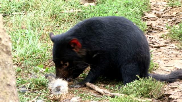 tasmanischer beutelteufel - bedrohte tierart stock-videos und b-roll-filmmaterial