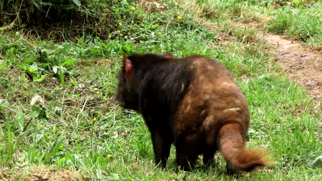 Tasmanian Devils walking video