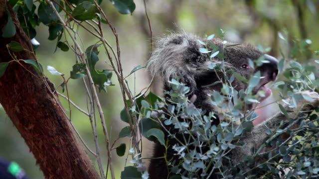 Tasty eucalyptus video