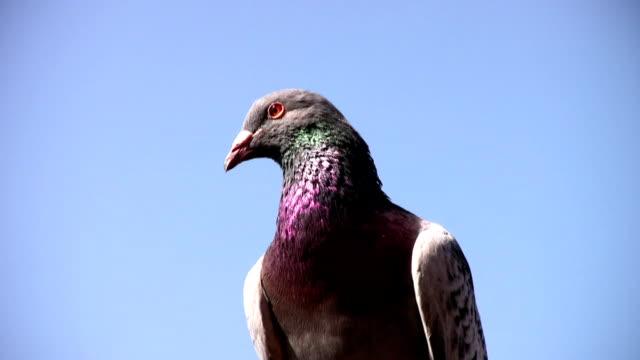 taube vor blauem himmel - soltanto un animale video stock e b–roll