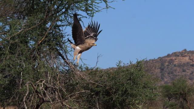 Tawny Eagle, aquila rapax, Adult in Flight, Nairobi Park in Kenya, Slow motion Tawny Eagle, aquila rapax, Adult in Flight, Nairobi Park in Kenya, Slow motion bird of prey stock videos & royalty-free footage