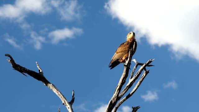 tawny eagle Botswana Africa safari wildlife tawny eagle (Aquila rapax), large bird of prey in natural habitat, Moremi game reserve, Botswana Africa safari wildlife bird of prey stock videos & royalty-free footage