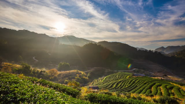vídeos de stock, filmes e b-roll de chá campo e nascer do sol - plantação