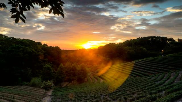 vídeos de stock e filmes b-roll de tea garden sunset in the summer time with nice background view - quénia