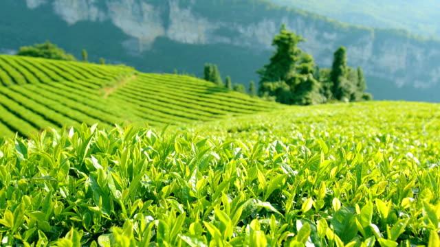 vídeos de stock, filmes e b-roll de folhas de chá - plantação