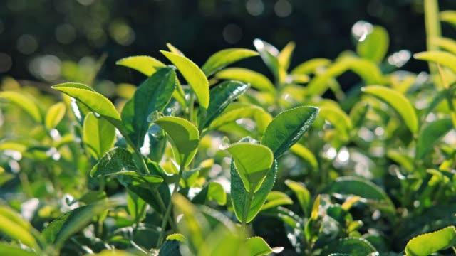 teepflanze bei chiang rai thailand - grüner tee stock-videos und b-roll-filmmaterial