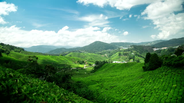 Tea Plantation in Cameron Highlands Pahang,Malaysia video